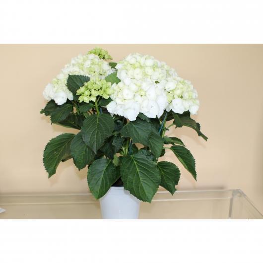 Hortensia -Flor Blanca (Hydrangea Macrophylla)