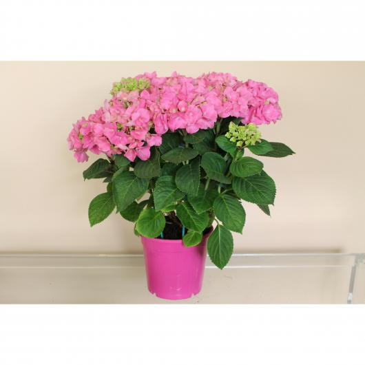 Hortensia -Flor Rosa (Hydrangea Macrophylla)