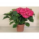 Hortensia -Flor Roja (Hydrangea Macrophylla)