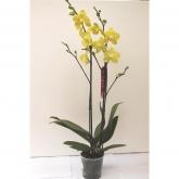 Orquidea 2 varas -Flor Amarilla (Phalaenopsis )