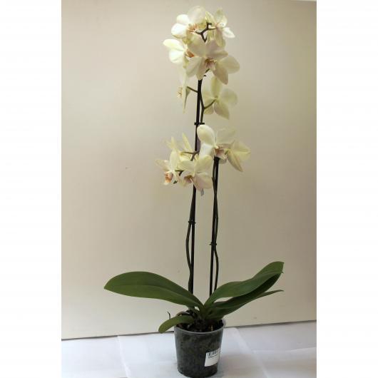 Orquidea 2 varas -Flor Amarilla Claro (Phalaenopsis )