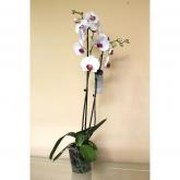 Orquidea 2 varas -Flor Blanca c/centro fucsia (Phalaenopsis )