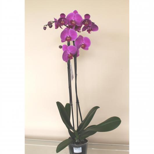 Orquidea 2 varas -Flor Fucsia (Phalaenopsis )