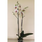 Orquidea 2 varas -Flor Moteada Amarilla/Fucsia (Phalaenopsis )