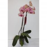 Orquidea 2 varas -Flor Moteada Rosa/Amarilla (Phalaenopsis )