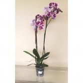 Orquidea 2 varas -Flor Moteada Blanco/Rosa Oscuro (Phalaenopsis )