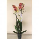 Orquidea 2 varas -Flor Naranja (Phalaenopsis )