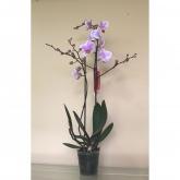 Orquidea 2 varas -Flor Rosa con Borde Blanco (Phalaenopsis )