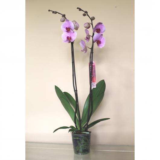 Orquidea 2 varas -Flor Rosa  (Phalaenopsis )