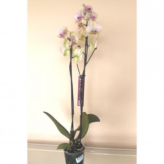 Orquidea 2 varas -Flor Rayada Amarilla/Rosa (Phalaenopsis )