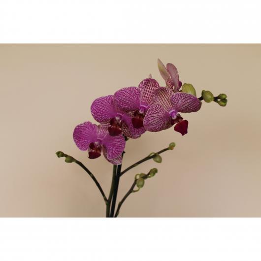 Orquidea 2 varas -Flor Rayada Rosa/Amarilla (Phalaenopsis )