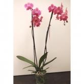 Orquidea 2 varas -Flor Rayada Rosa (Phalaenopsis )