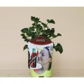 Pelargonio Aromático Esencia Cola (Pelargonium)