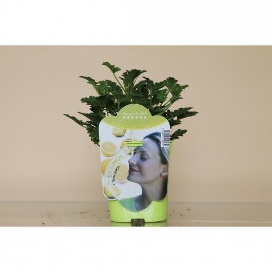 Pelargonio Aromático Esencia Limón (Pelargonium)