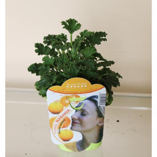 Pelargonio Aromático Esencia Naranja (Pelargonium)