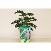 Pelargonio Aromático Esencia Pino (Pelargonium)