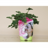 Pelargonio Aromático Esencia Rosas (Pelargonium)
