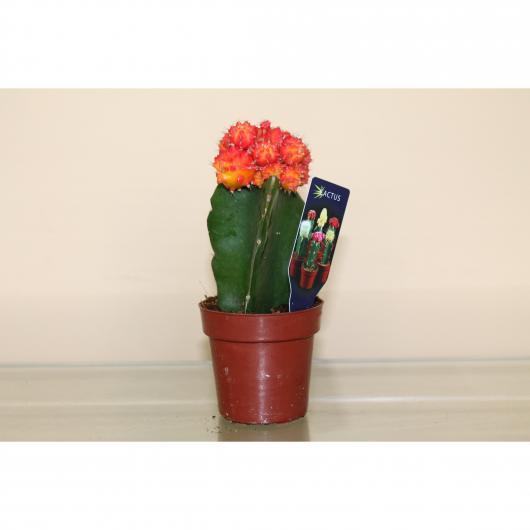 Cactus Gymnocalyc Mihanovichii Japan