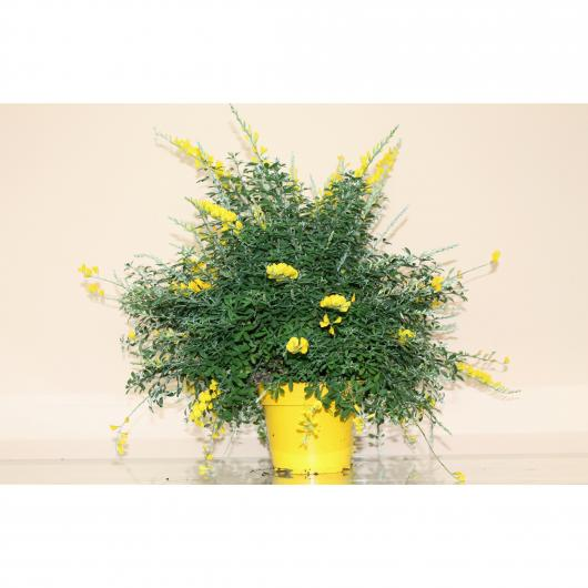 Cytisus Maderensis - Citiso