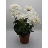 Geranio -Flor Blanca (Pelargonium Hortorum)