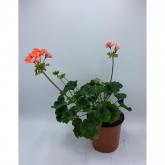 Geranio -Flor Coral (Pelargonium Hortorum)