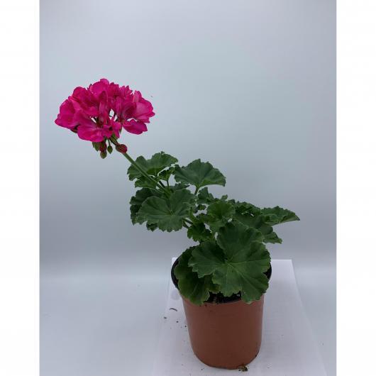 Geranio -Flor Rosa (Pelargonium Hortorum)