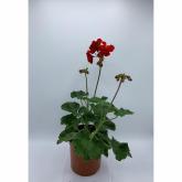 Geranio -Flor Roja (Pelargonium Hortorum)