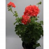 Gitanilla - Flor Coral (Pelargonium Peltatum)