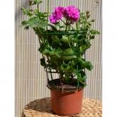 Gitanilla - Flor Lila (Pelargonium Peltatum)