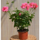 Gitanilla - Flor Rosa (Pelargonium Peltatum)