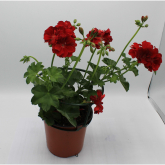 Gitanilla - Flor Roja (Pelargonium Peltatum)