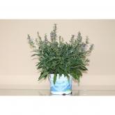 """Salvia Officinalis """"Aromas del Mediterraneo"""""""