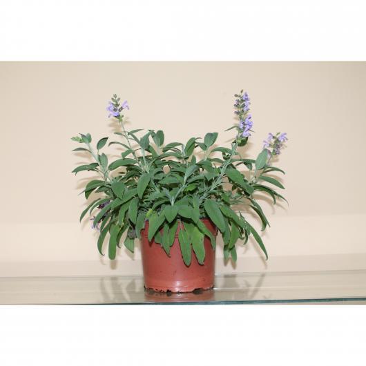 Salvia Officinalis -Mix 2 variedades-