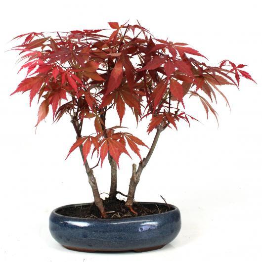 Acer palmatum deshojo (bosque) 9 años ARCE