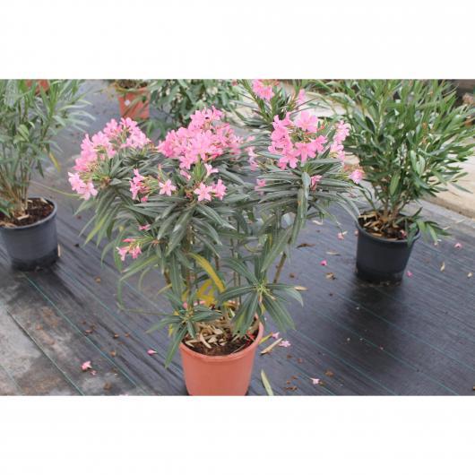 Adelfa - Laurel Rosa (Nerium Oleander)