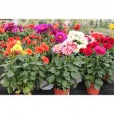Dalia -Colores surtidos- (Dahlia pinnata)