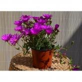 Mesem (Colores surtidos) (Lampranthus Spectabilis)