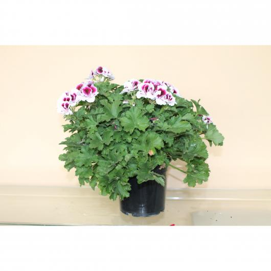 Pelargonio Grandiflorum -Flor Blanca (Pelargonium Grandiflorum)