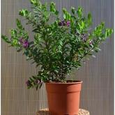 Polygala - Lechera del Cabo  (Polygala Myrtifolia)