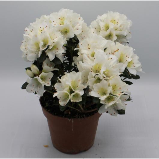 Azalea con Flor Blanca (Rhododendron)