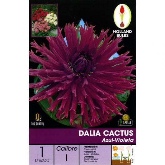 Bulbe dahlia cactus bleu-violet 1 pc