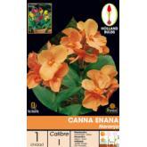Bolbo Canna anã laranja, 1 ud