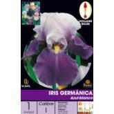 Bulbe iris bleu-blanc d'Allemagne