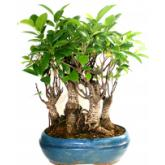 Ficus retusa 3 troncos 9 años