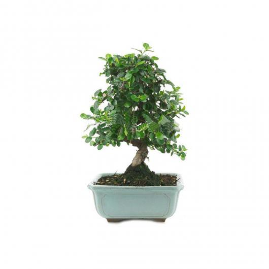Cotoneaster sp. 9 ans