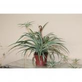 Falangio - Cintas (Chlorophytum Comosum)
