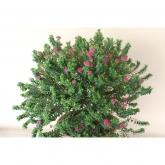 Pimelea Ferruginea - Flor de arroz