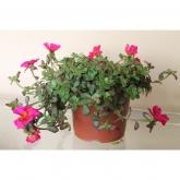 Portulaca - Verdolaga - Flor de seda (Colores surtidos) (Portulaca Grandiflora)
