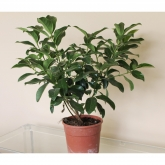 Viburnum - Durillo - Laurentina (Viburnum Tinus)