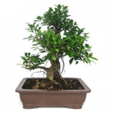 Retusa del Ficus 20 anni